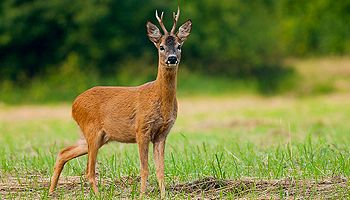 Roe Deer Hunting Offer
