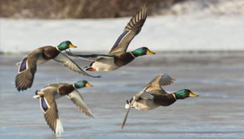 Wild Duck Hunting Offer