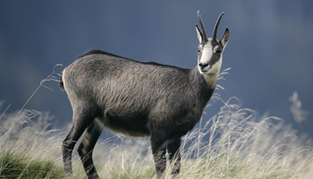 Chamois Hunting Offer